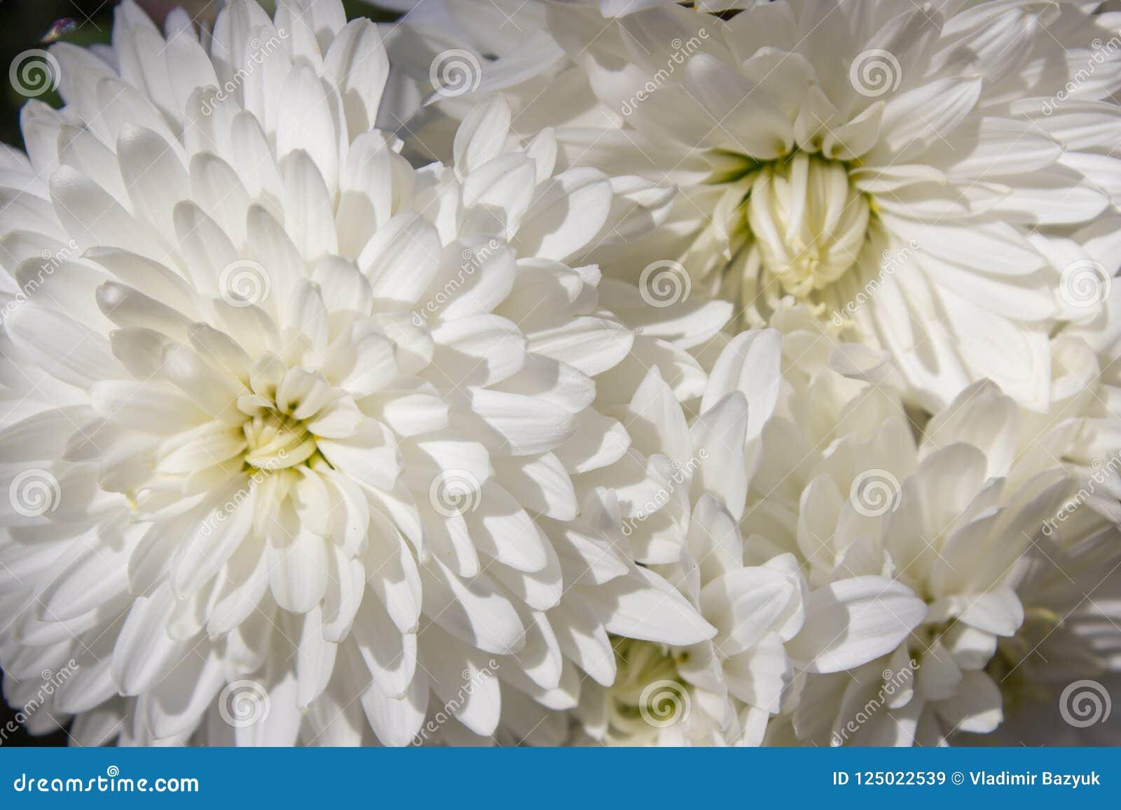 White Chrysanthemum Morifoliumautumn Flowers Are White Flowers Are