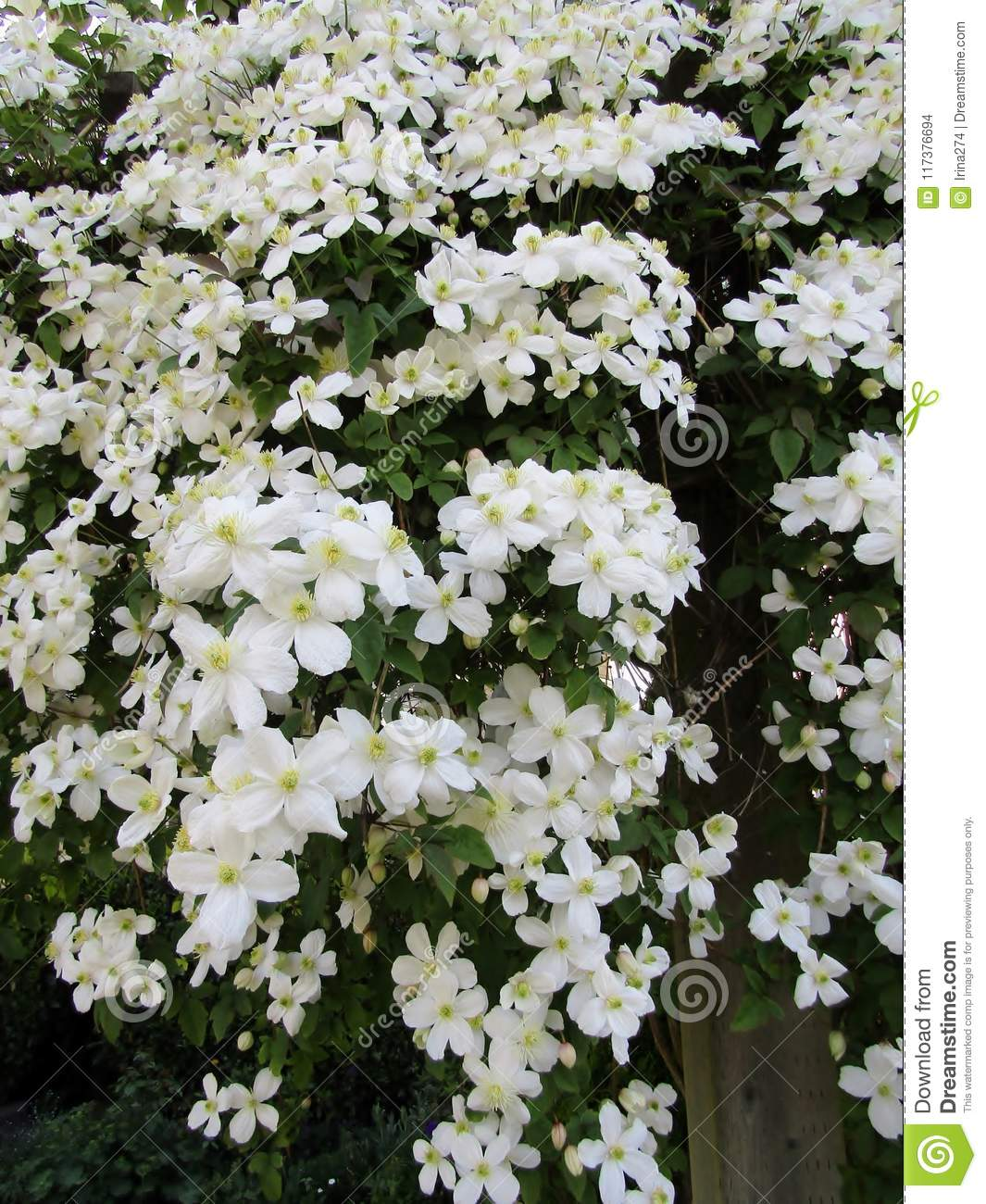 White Clematis Blooming In Spring Background Stock Photo Image Of