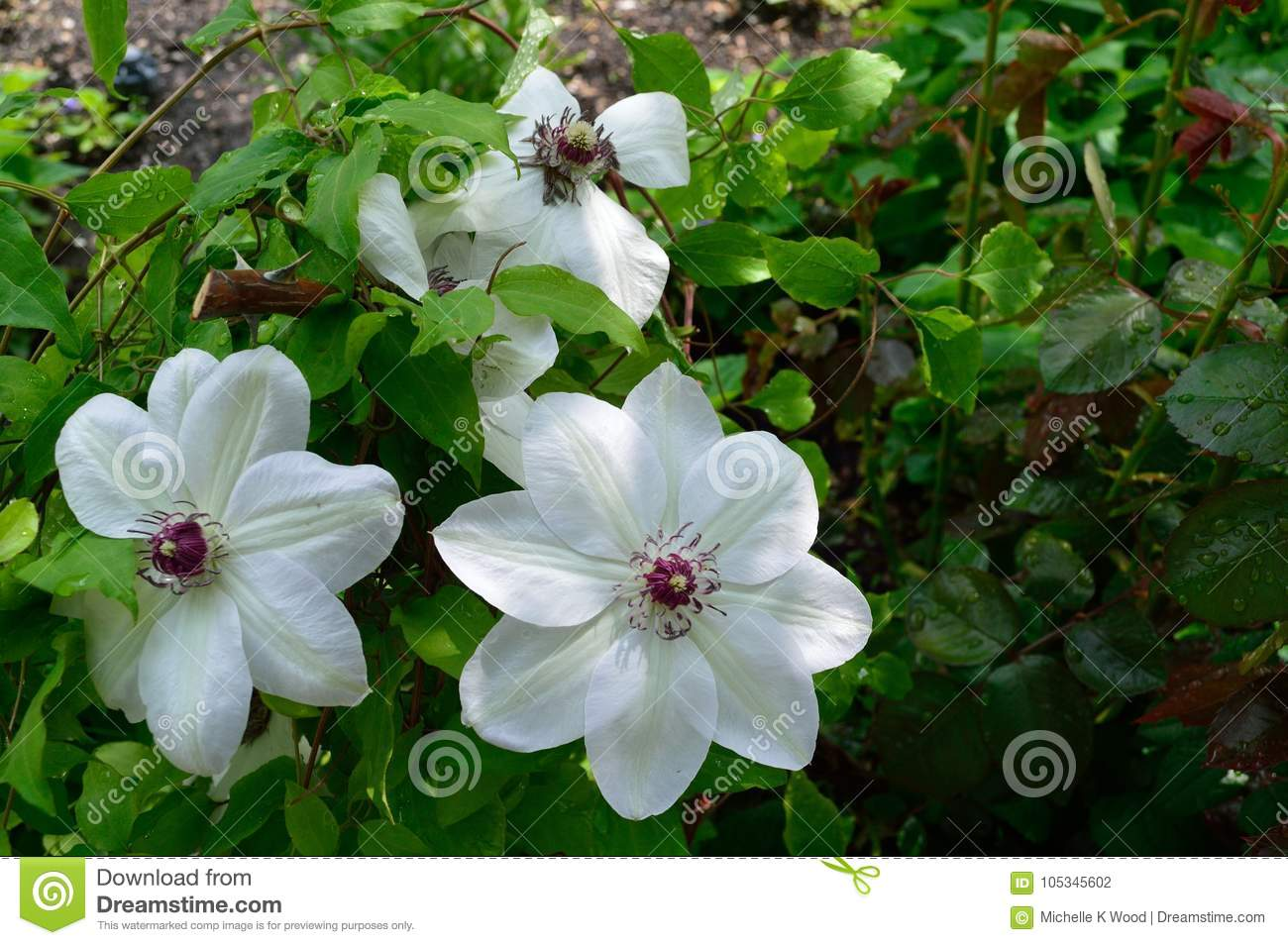 White Clematis With Curly Purple Stamens Stock Photo Image Of