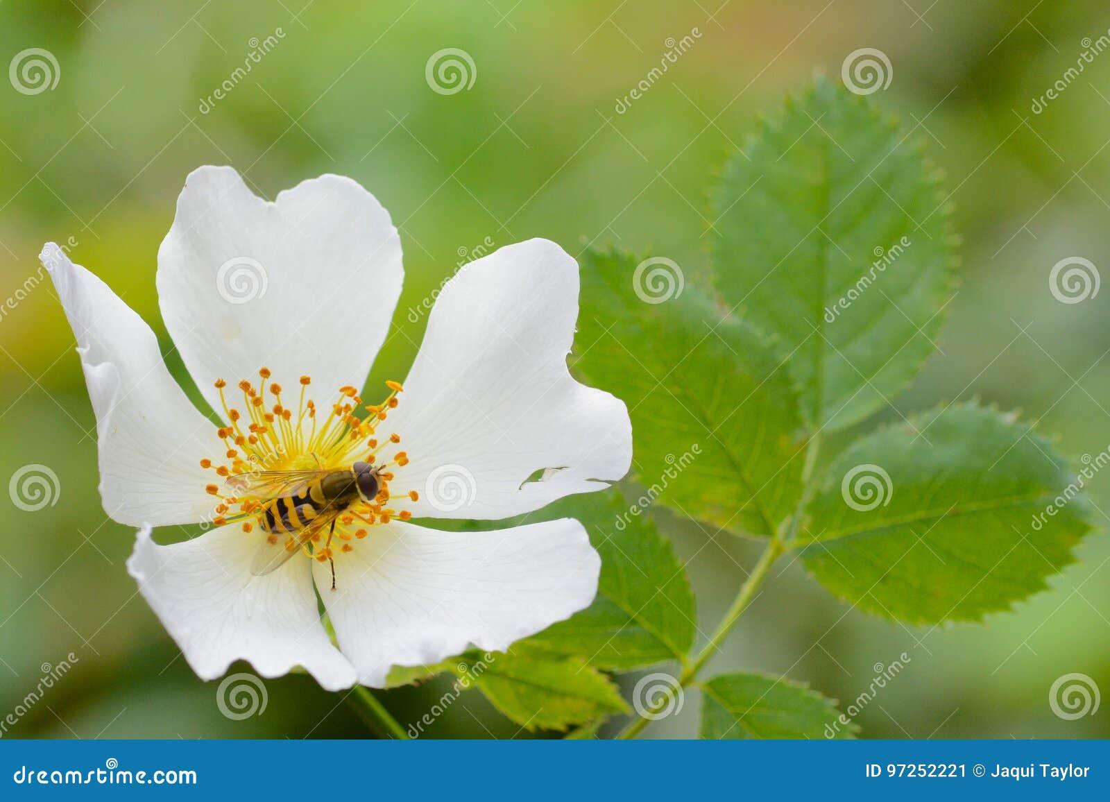 A white climbing rose