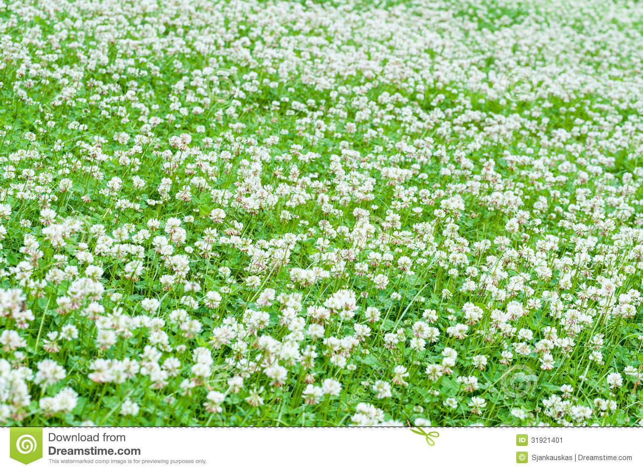 White Clover Field Stock Image - Image: 31921401