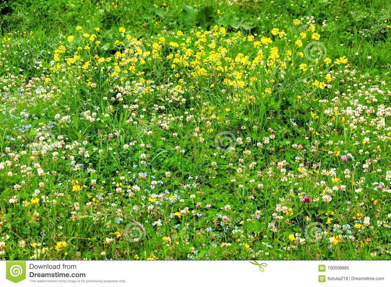 White Clover In The Green Grass Stock Image Image Of Background
