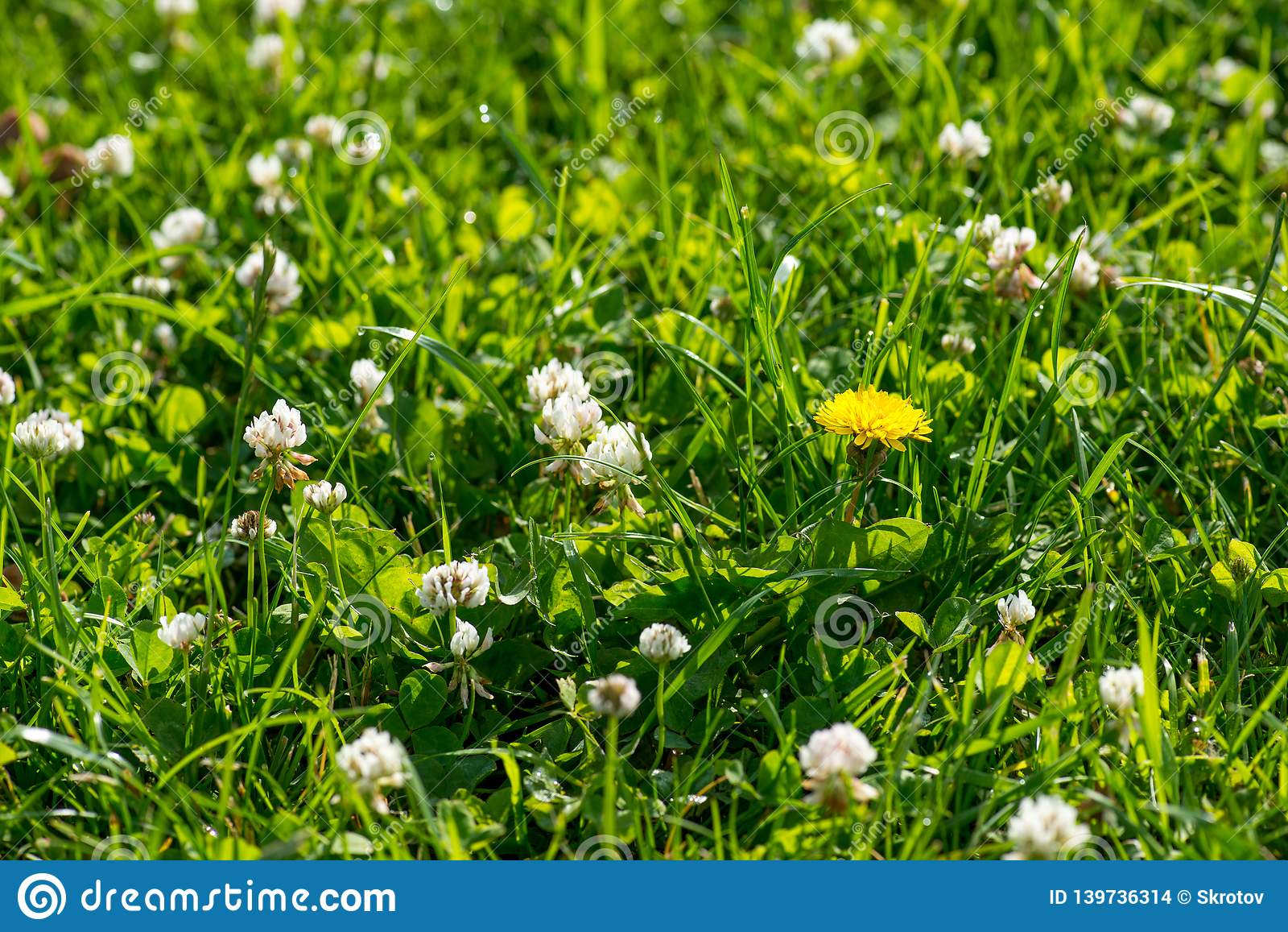 White clover wild meadow flowers in field. Nature vintage summer spring photo background. Selective focus macro shot