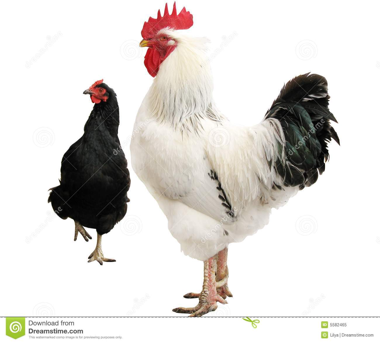 White Cock And Black Hen Royalty Free Stock Photo Image