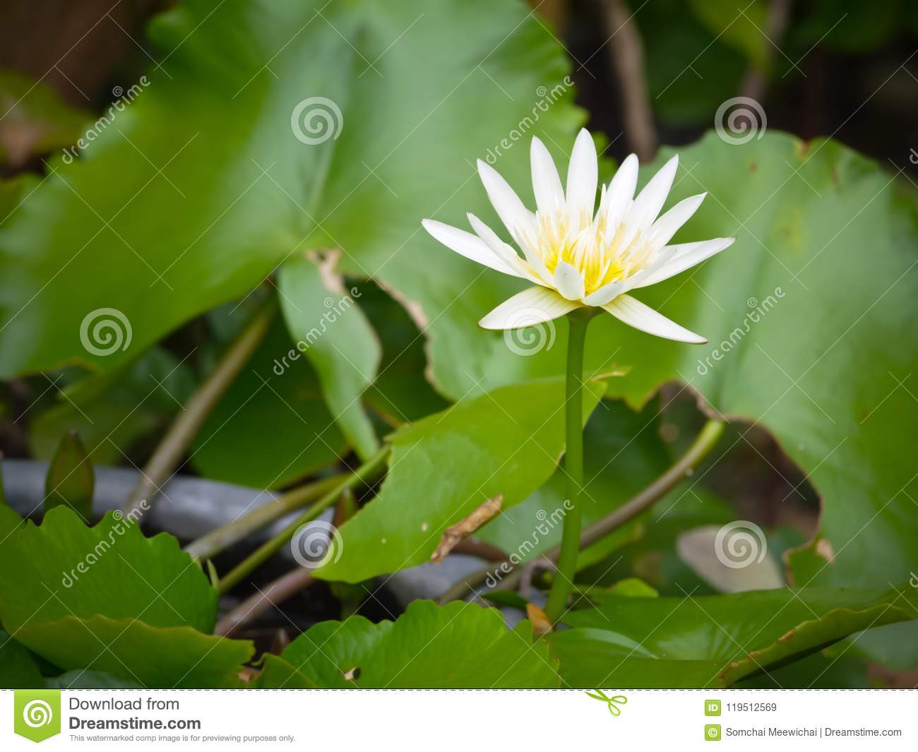 White Color Waterlily Lotus Flower With Close Up View Stock Image