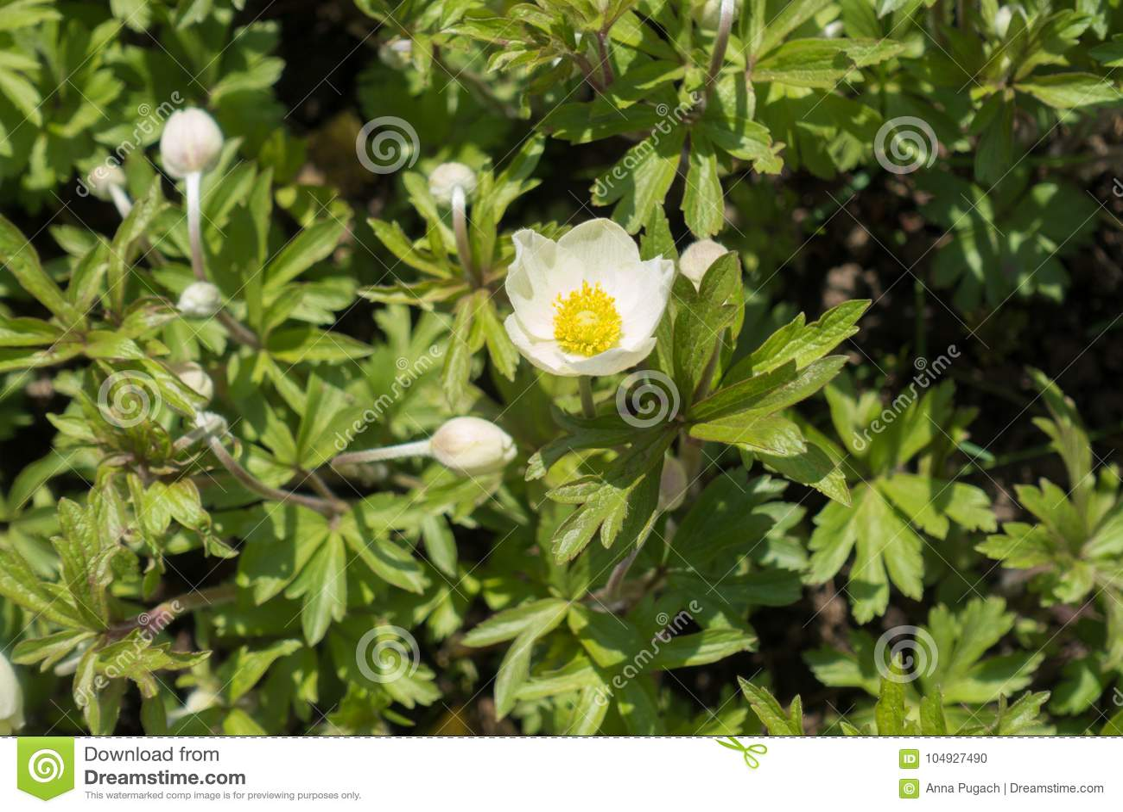 White colored flowers of snowdrop anemone stock photo image of white colored flowers of snowdrop anemone mightylinksfo