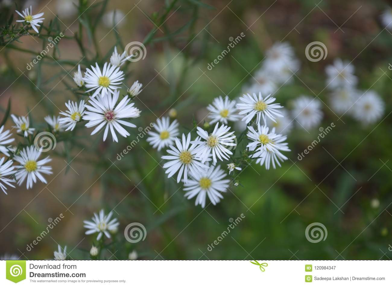 White Colour Flower Stock Image Image Of Color Flower 120984347