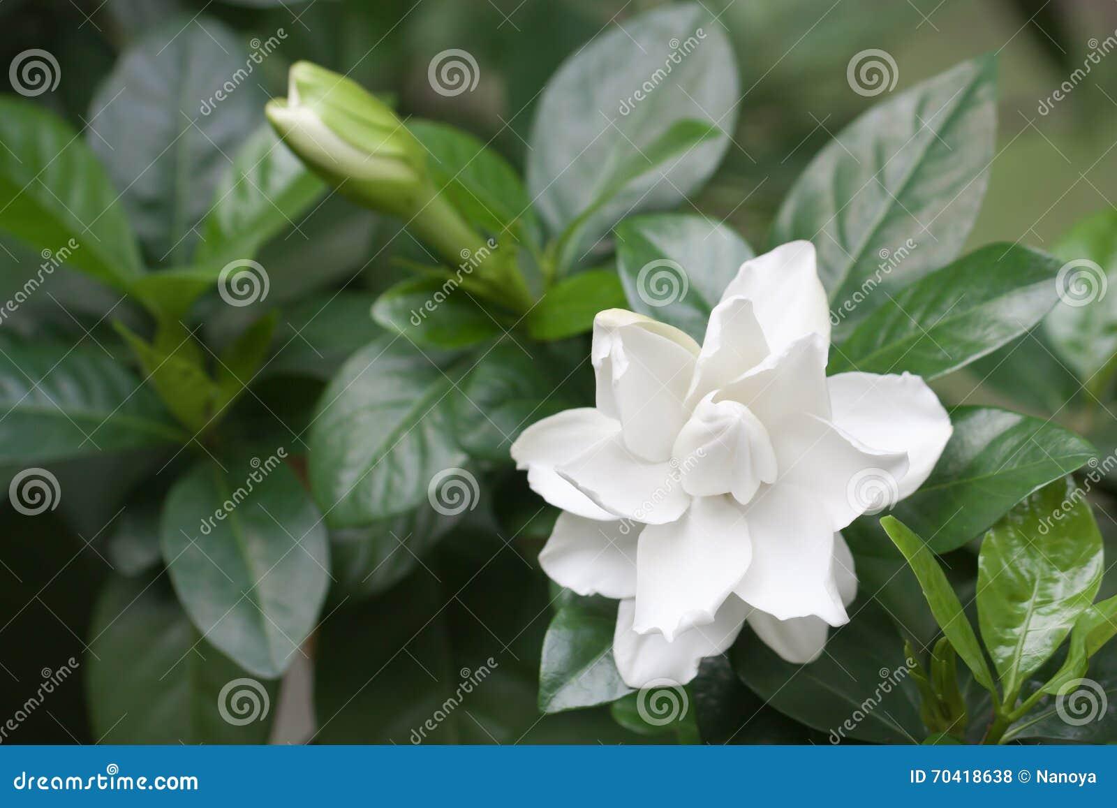 White common gardenia or cape jasmine flower stock photo image of white common gardenia or cape jasmine flower izmirmasajfo