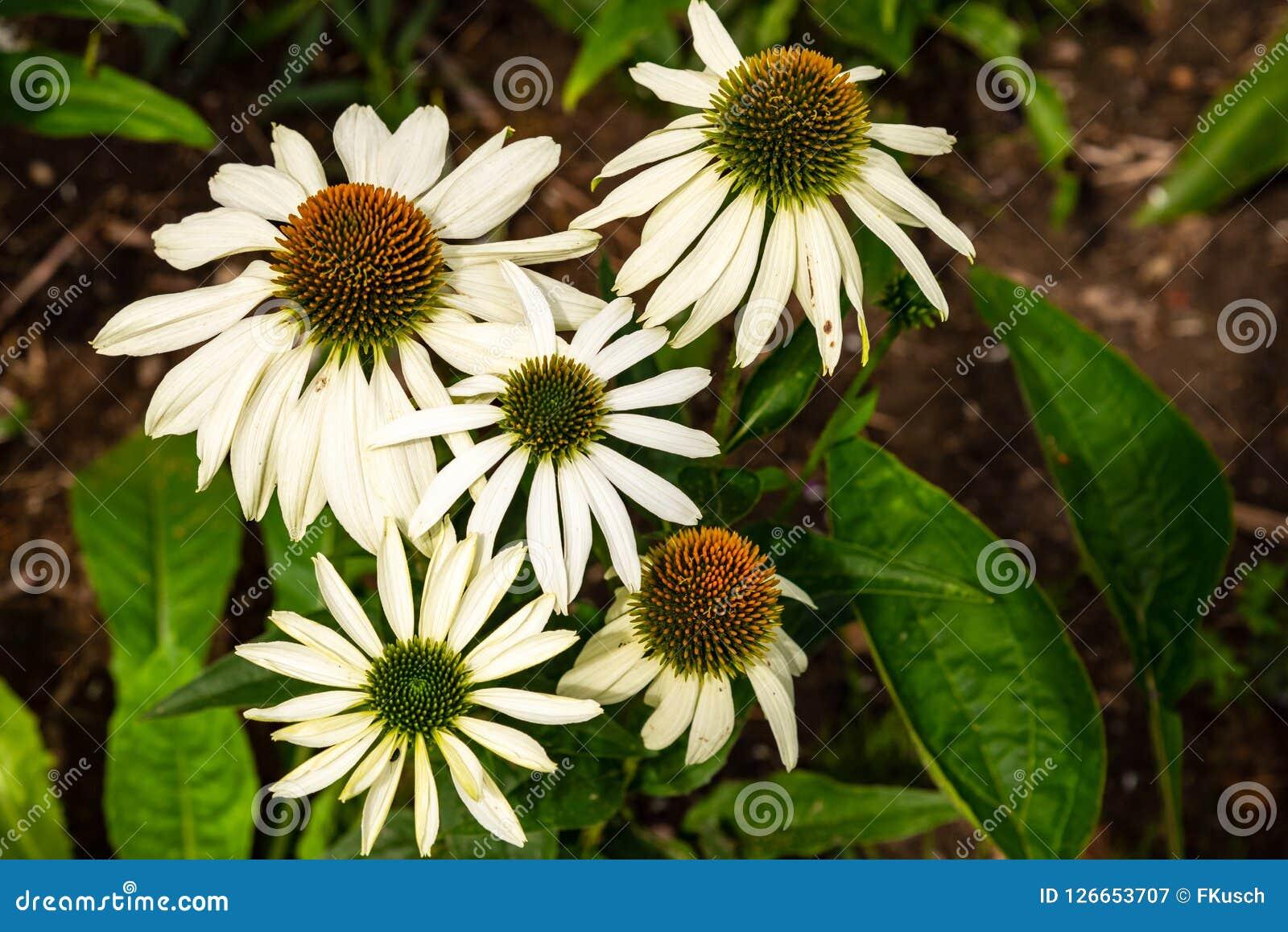White Cone Flower Echinacea Purpurea Alba Stock Image Image Of