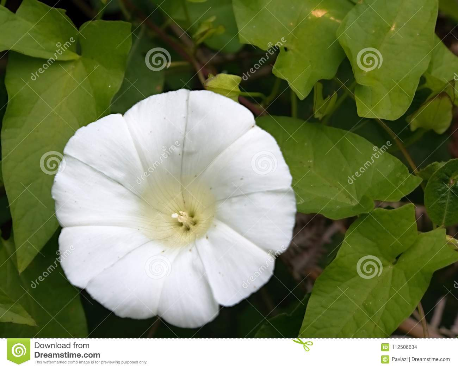White convolvulus morning glory flower stock photo image of green download white convolvulus morning glory flower stock photo image of green pollen mightylinksfo