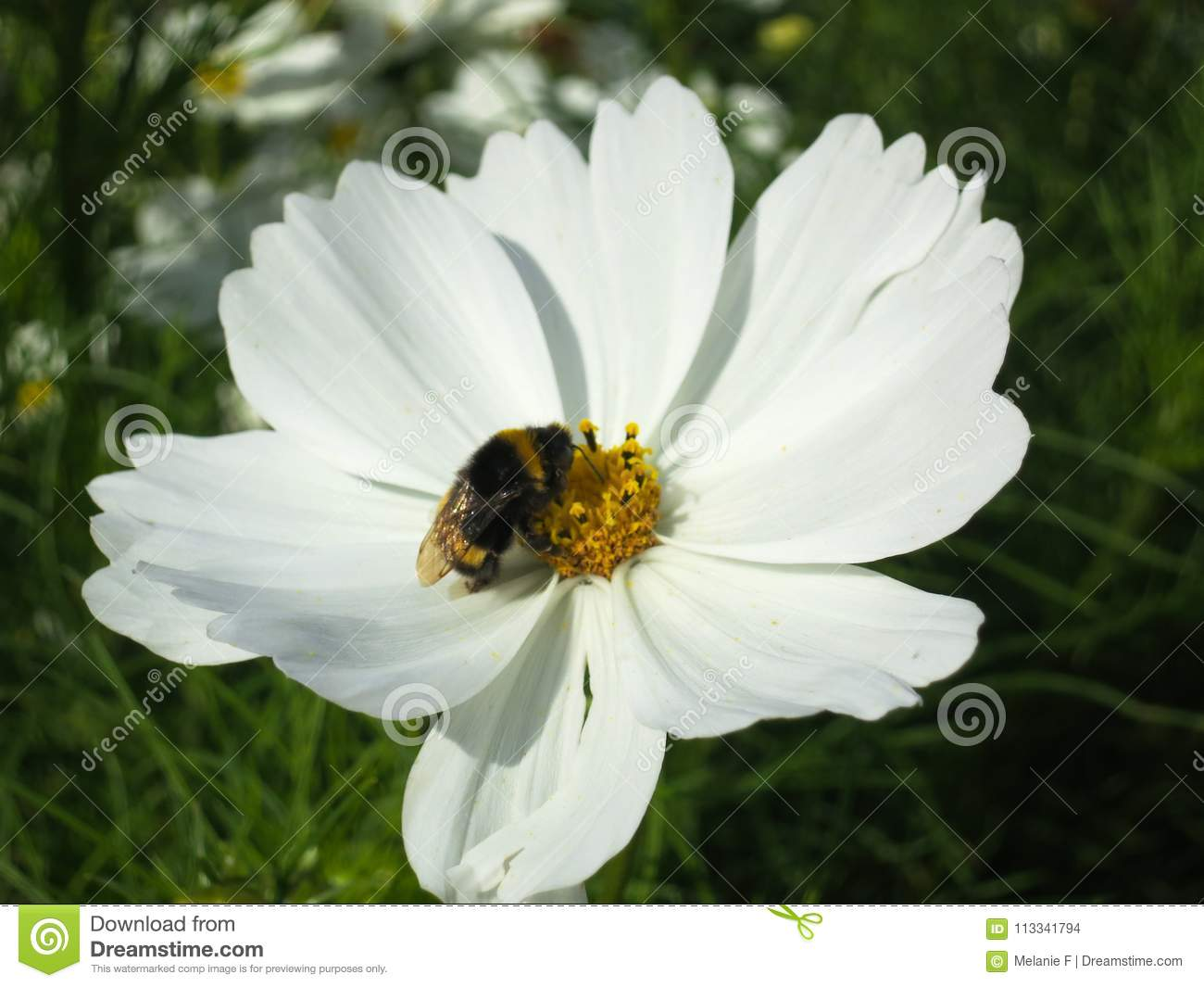 White Cosmo Flower With Bumble Bee Stock Photo Image Of Bumble