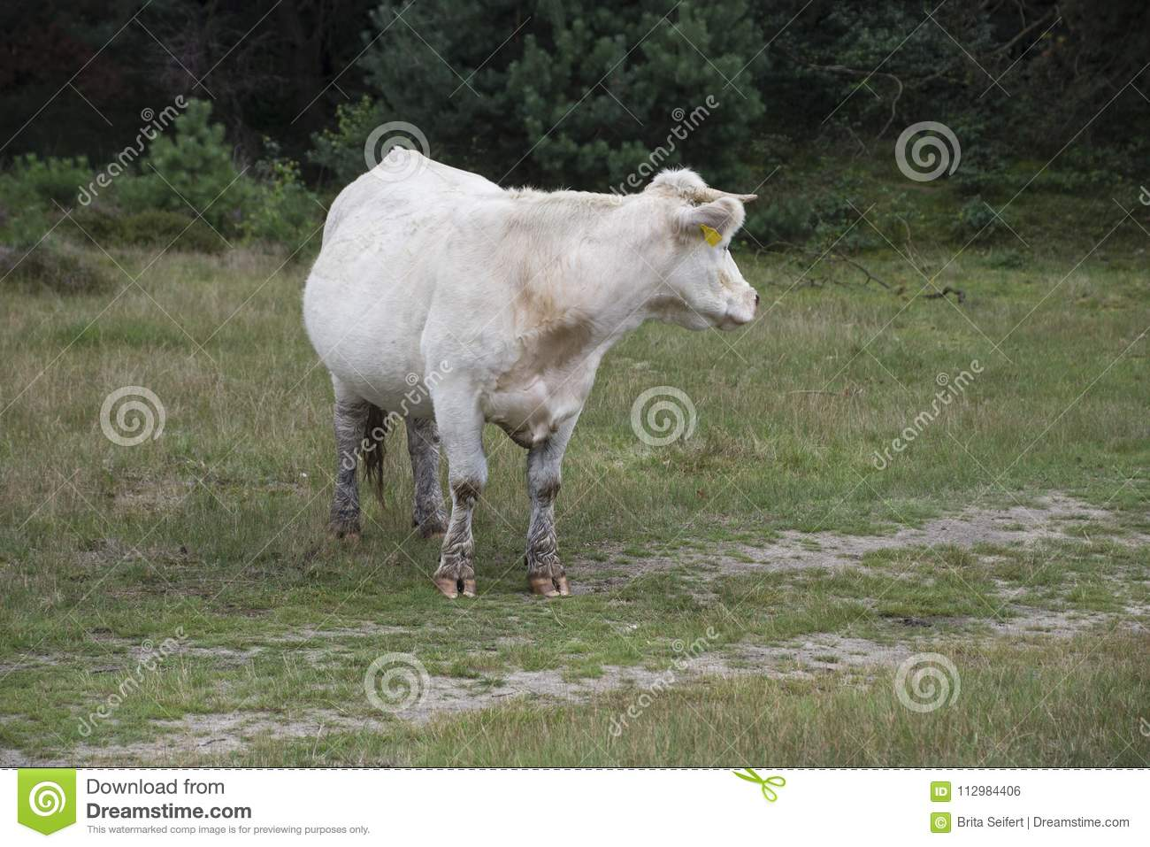 White cow standing in the meadow at the farm