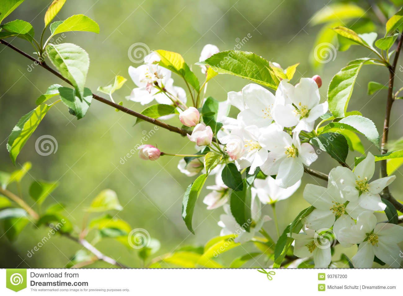 White crab apple flowers stock photo image of branches 93767200 white crab apple flowers mightylinksfo