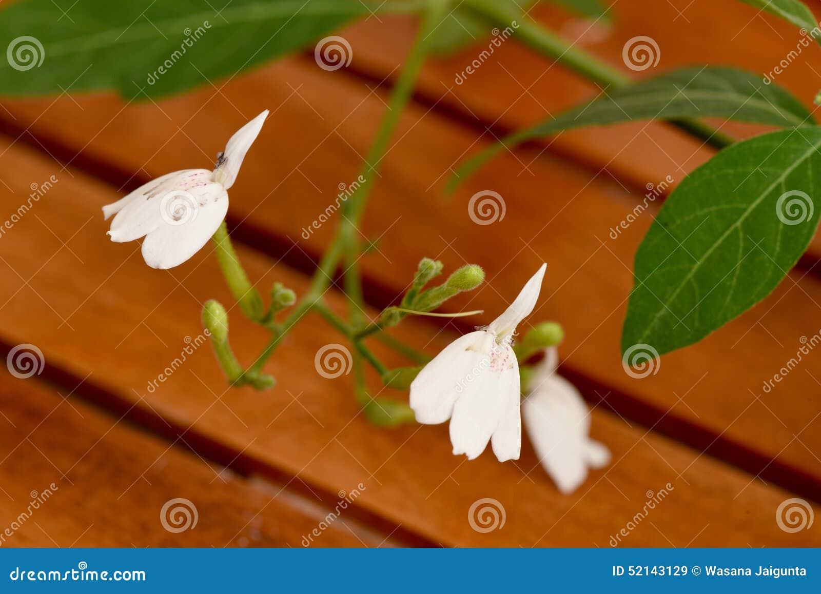 White Crane Flower Fresh And Dried Leaves Rhinacanthus Nasutus
