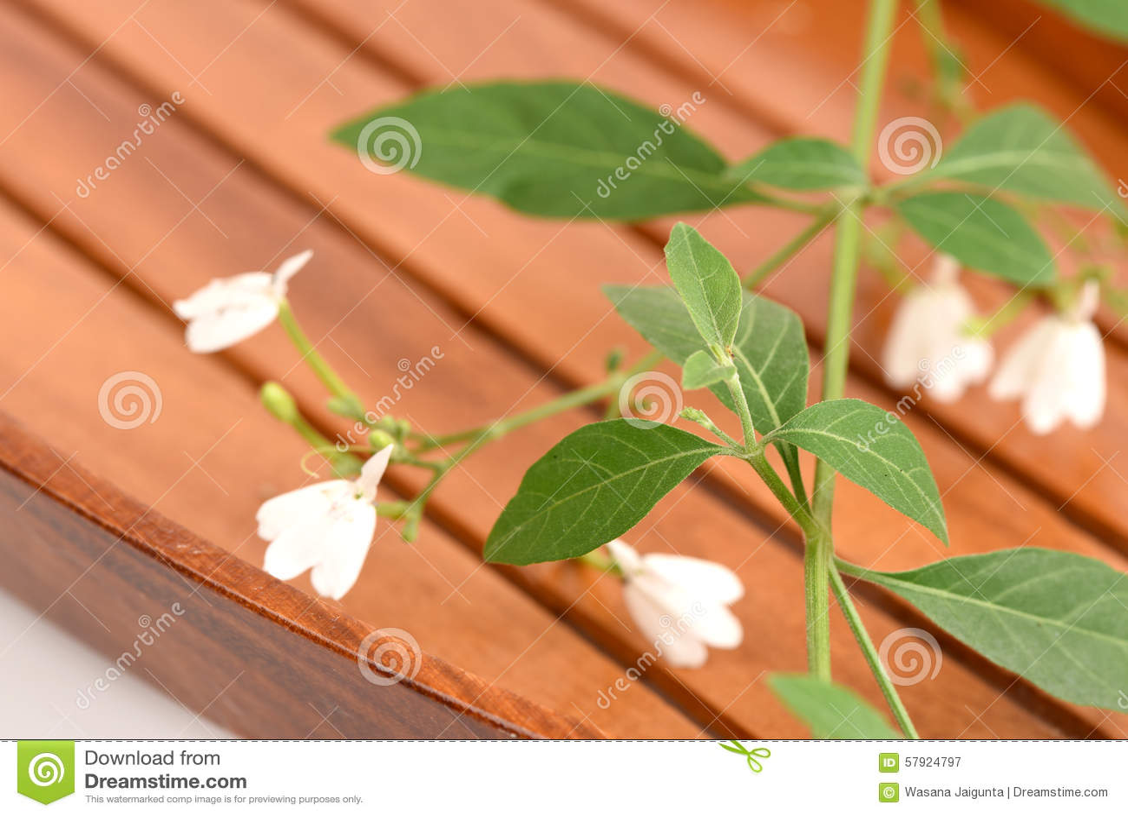 White Crane Flower Rhinacanthus Nasutus L Kurz Stock Image