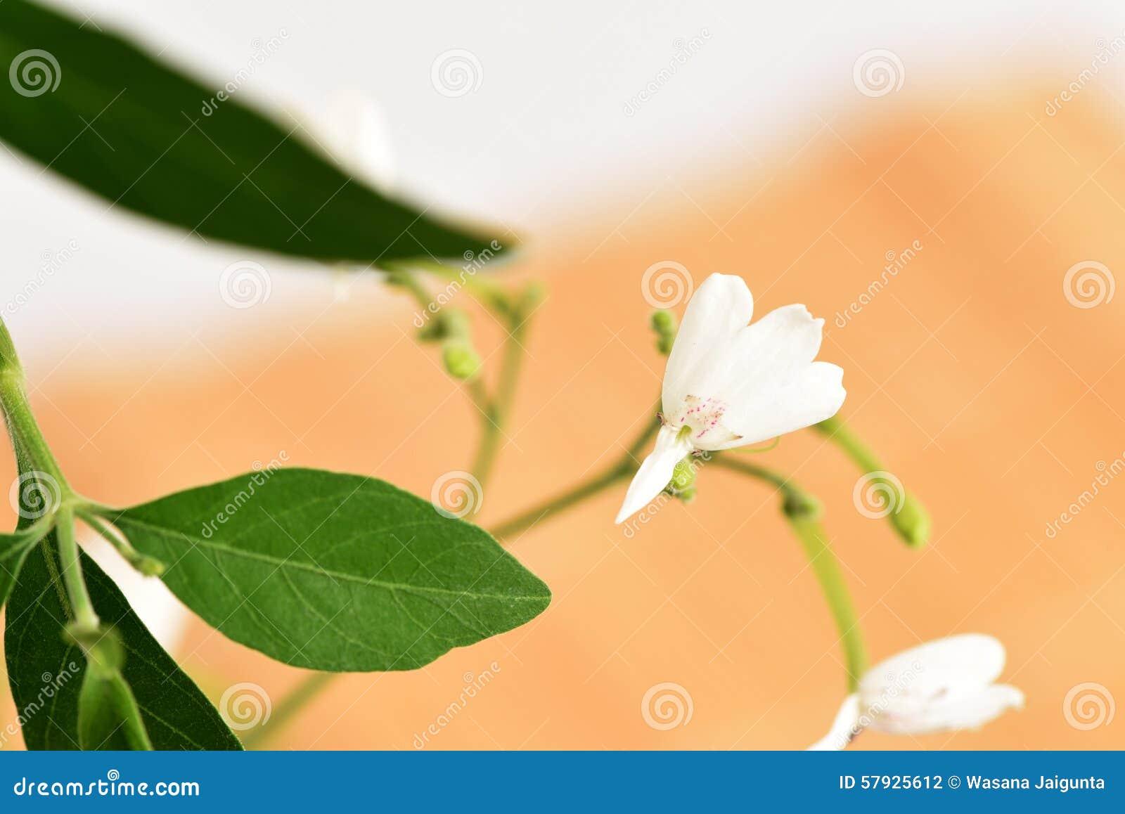 White Crane Flower Rhinacanthus Nasutus L Kurz Stock Photo