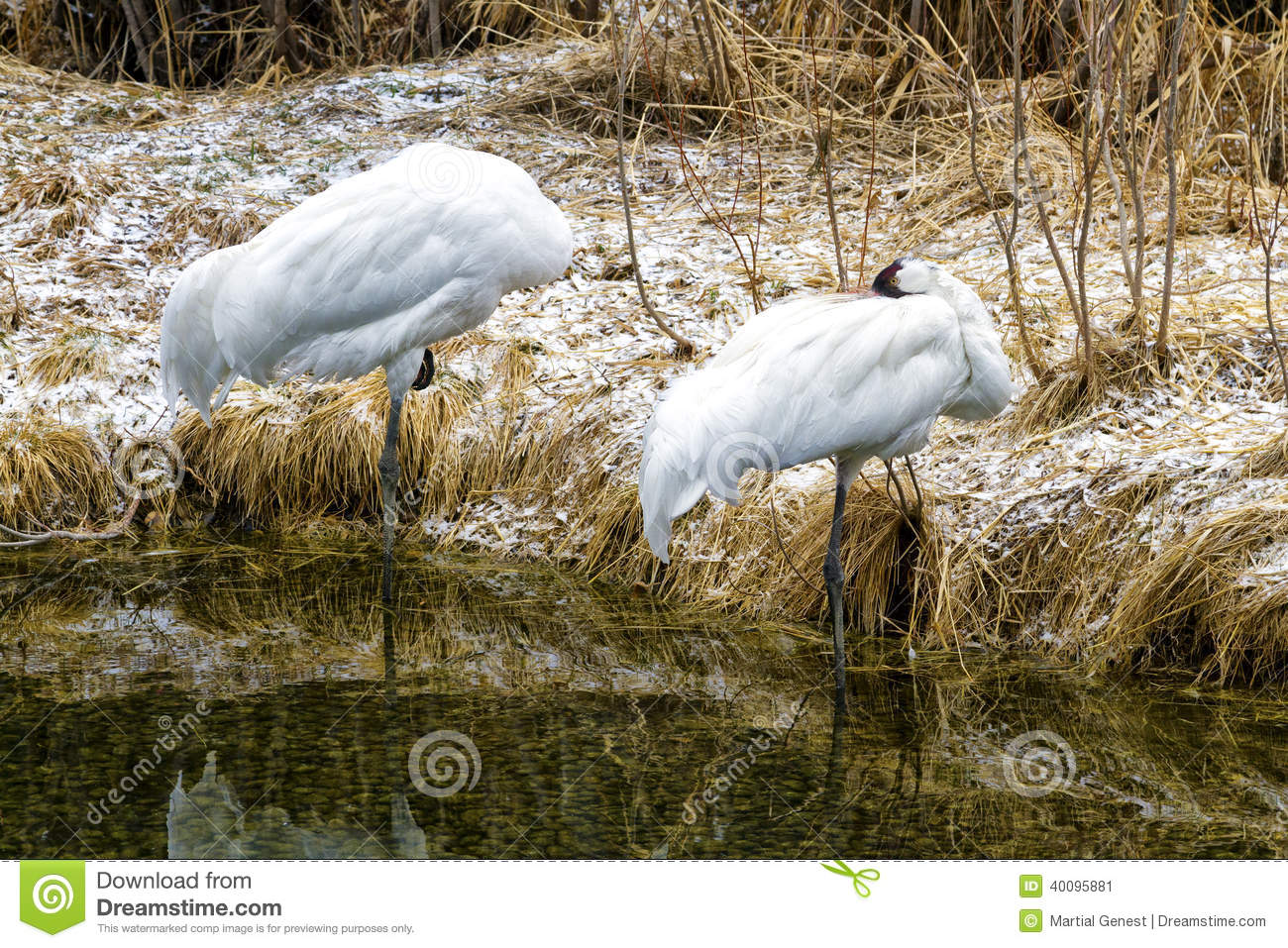 White Crane Stock Photo Image 40095881
