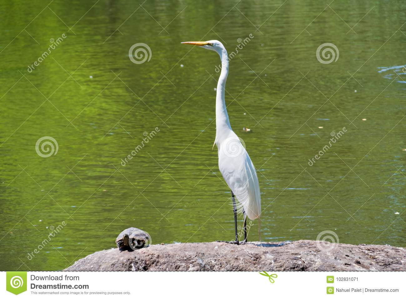 White Crane And A Turtle Standing On A Rock In A Lake Stock