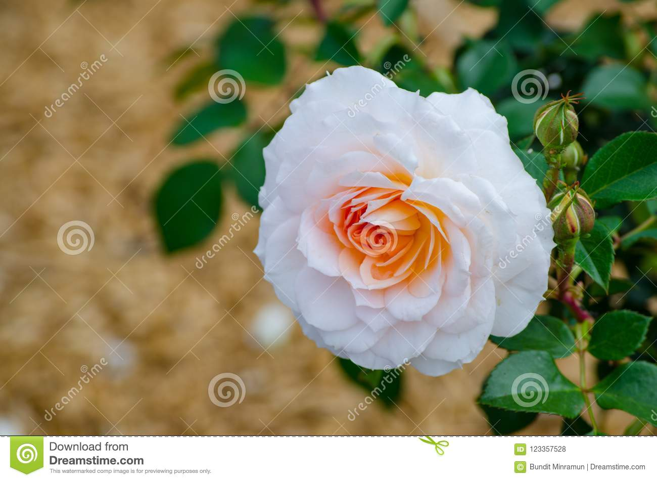 white cream orange single rose with its green leaves in a