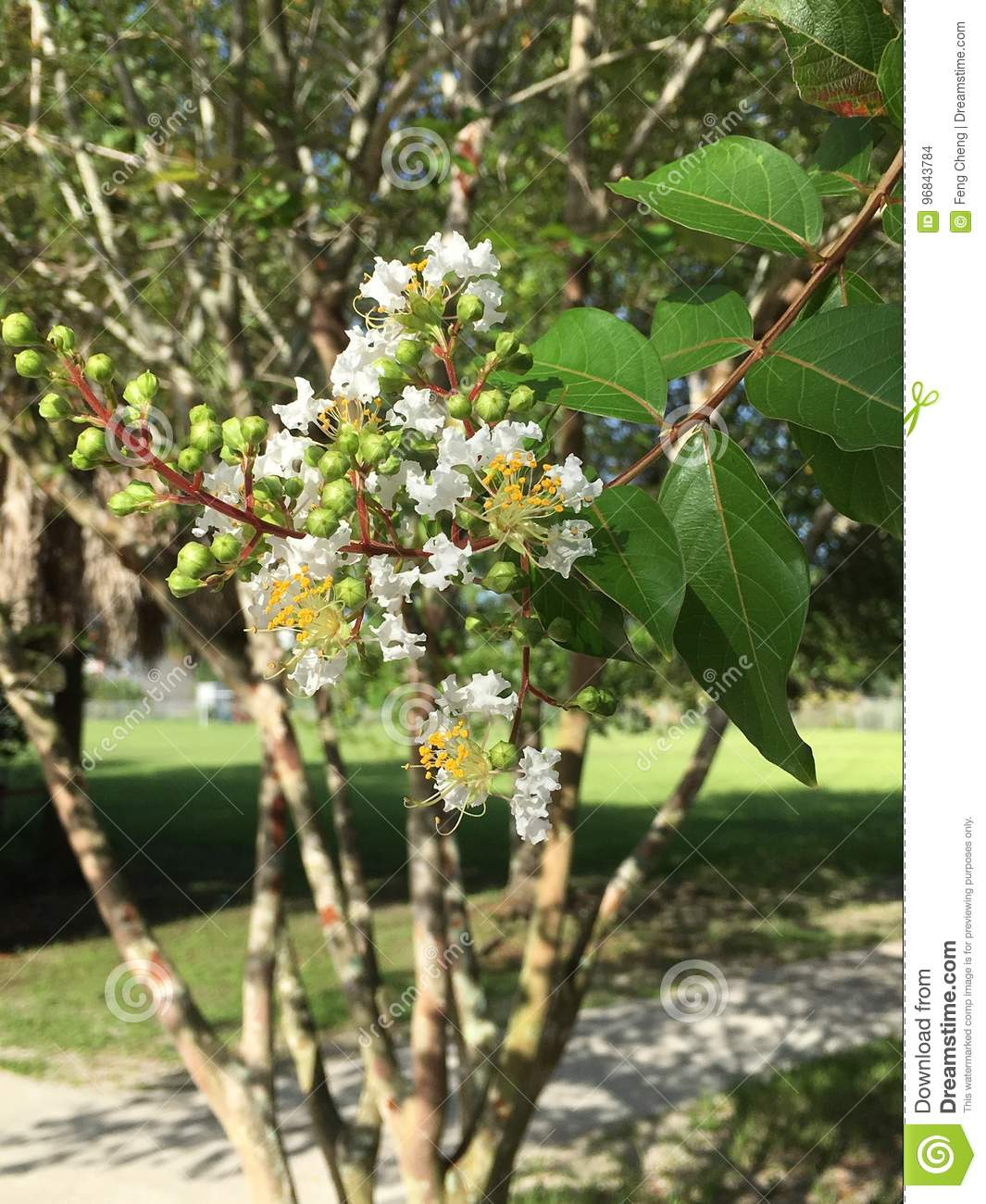 White Crepe myrtle flower stock photo. Image of color - 96843784