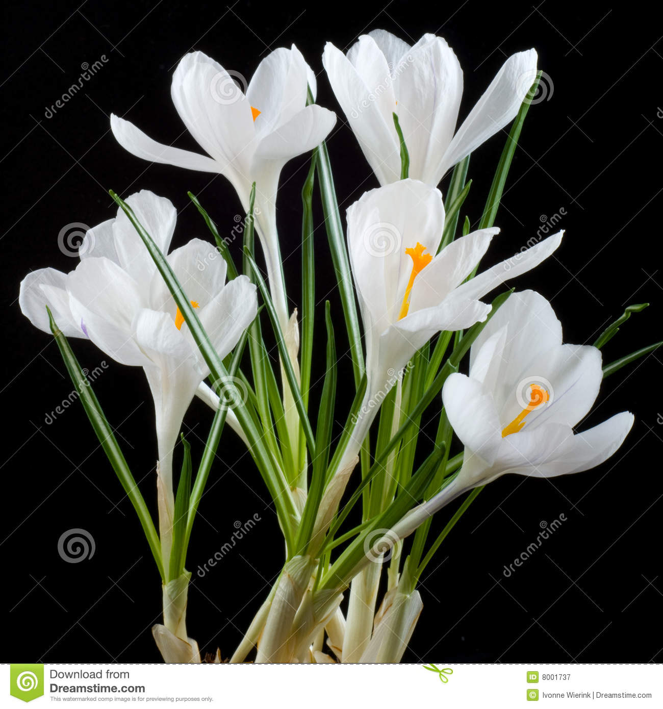 White crocus stock image image of botanical crocus flowers 8001737 white crocus mightylinksfo