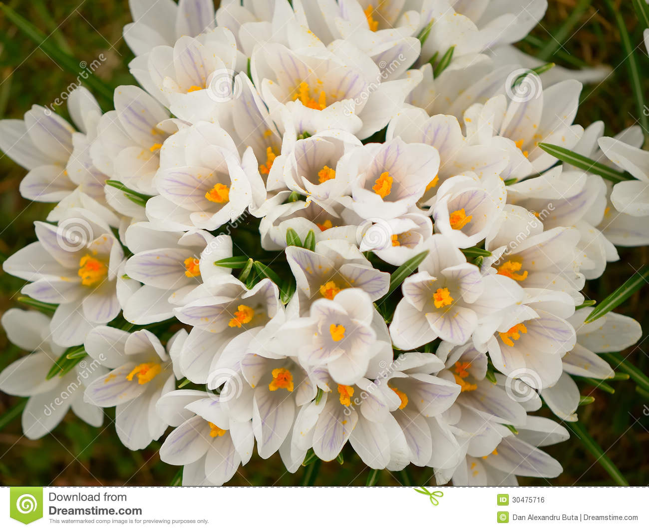 White Crocus Bouquet Stock Photo Image Of Beautiful 30475716