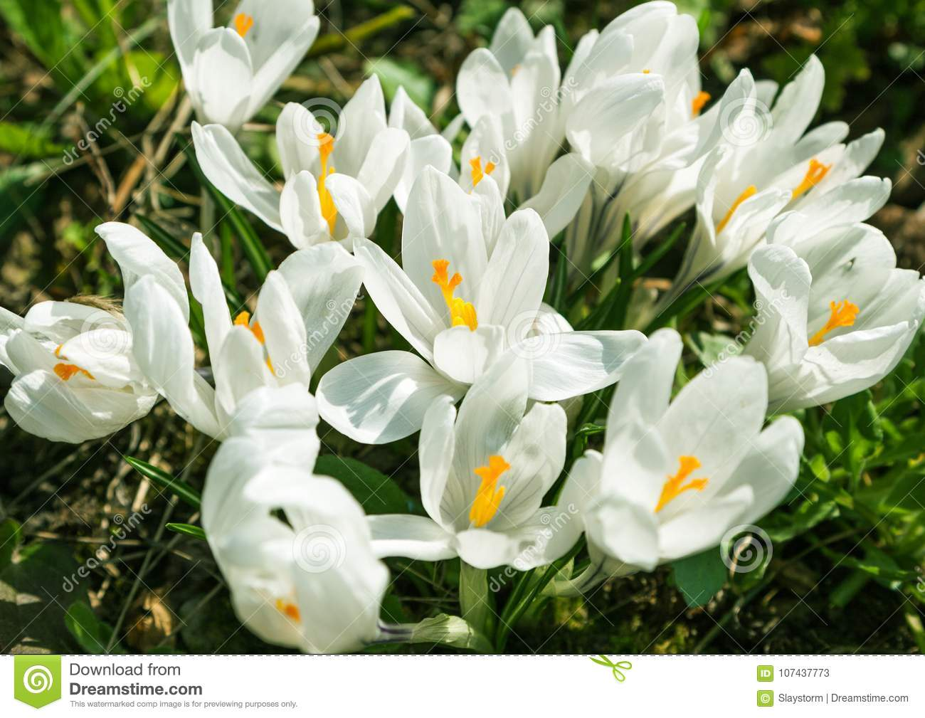 White Crocus Flowers Bloom In The Sunlight Of A Spring Garden Stock