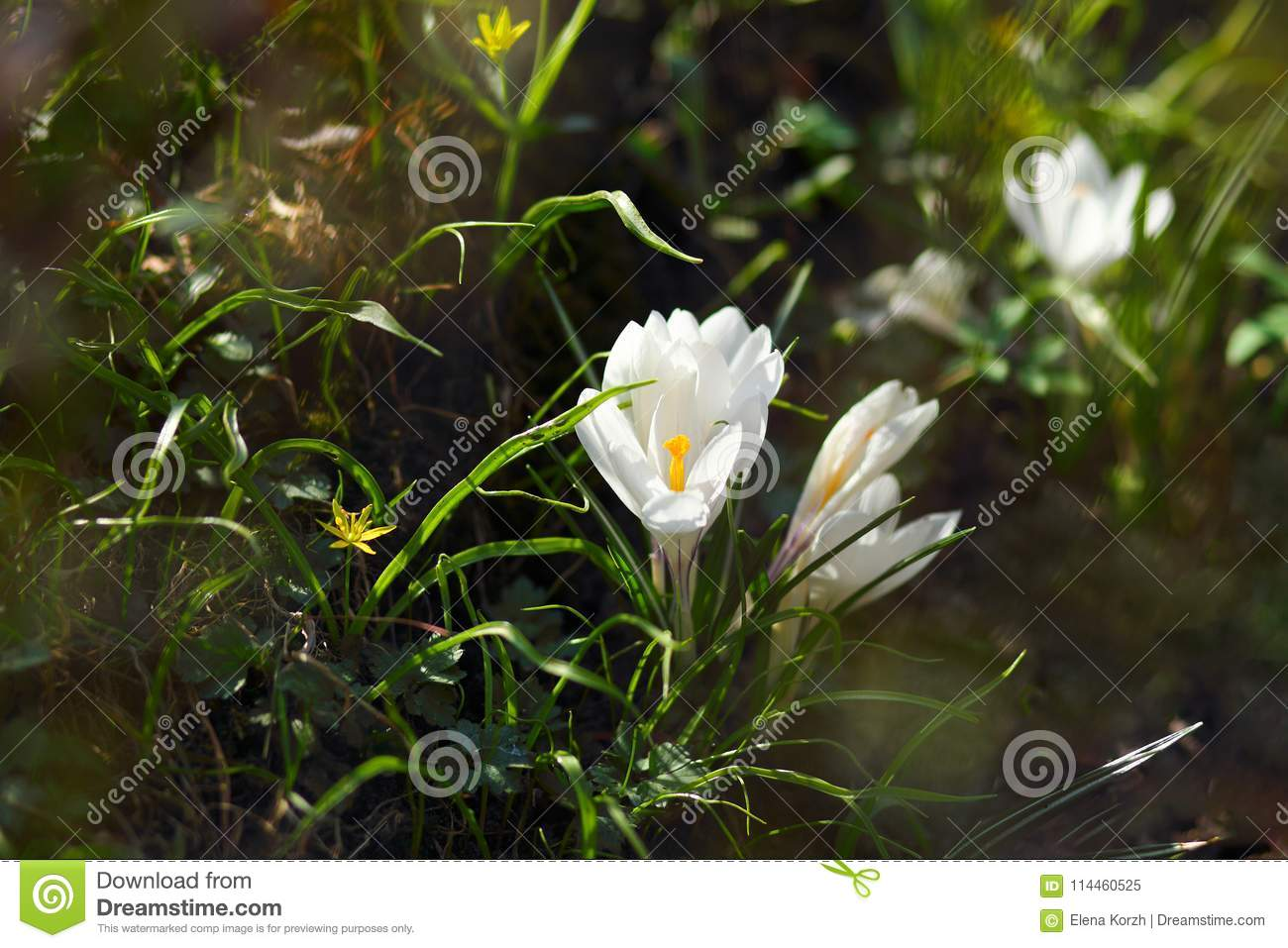 White Crocus In Grass With Yellow Flowers Stock Image Image Of