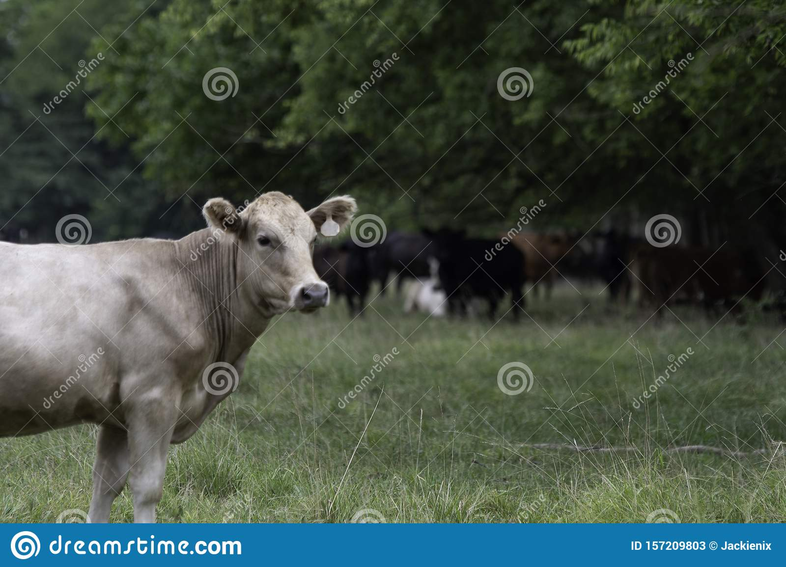 White crossbred heifer with herd out of focus in background