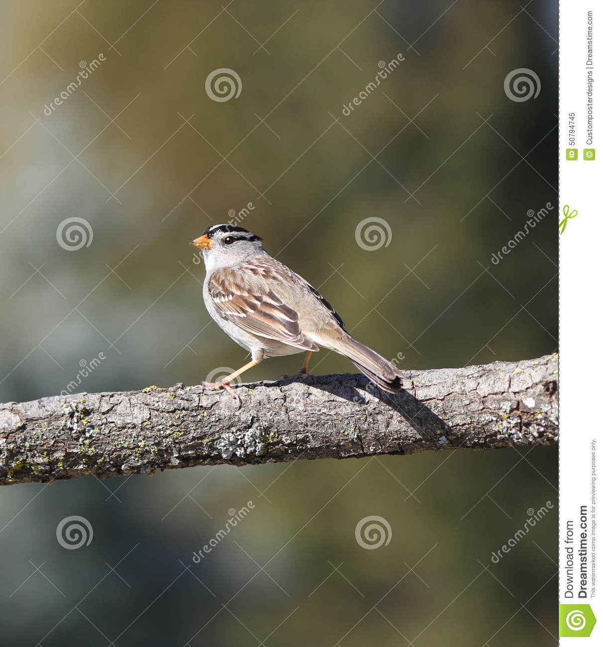 Download A white crowned sparrow. stock image. Image of bird, black - 50794745