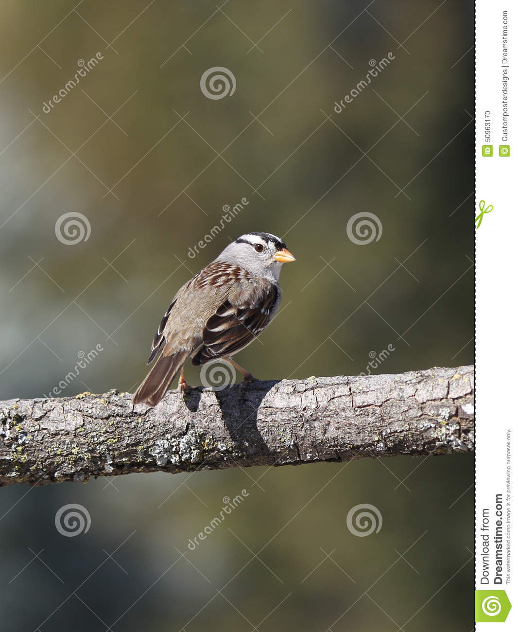 Download A White Crowned Sparrow In The Wild. Stock Photo - Image of tree, photo: 50963170