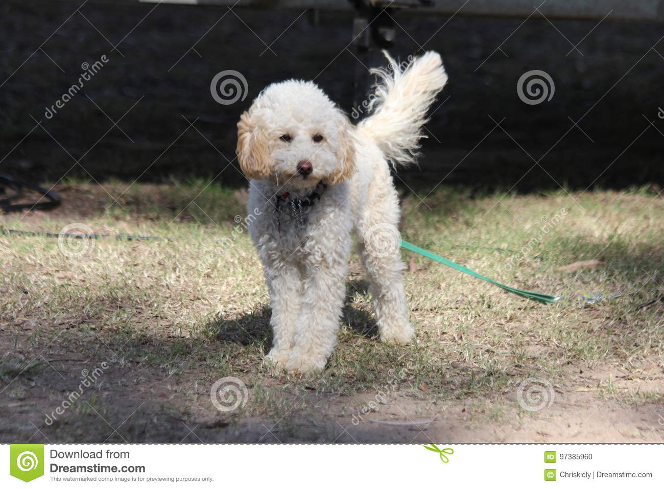 small white curly haired dog