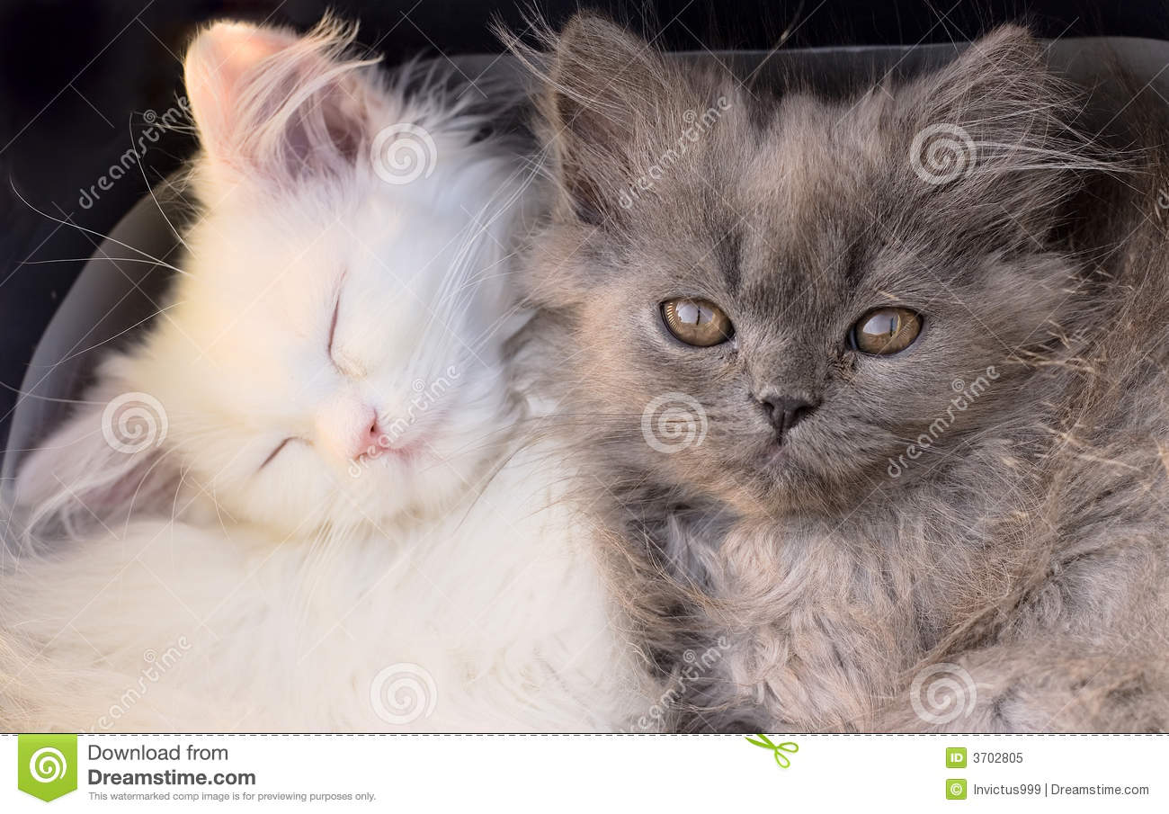 White Cute Adorable Kittens Cats Macro Stock Image Image