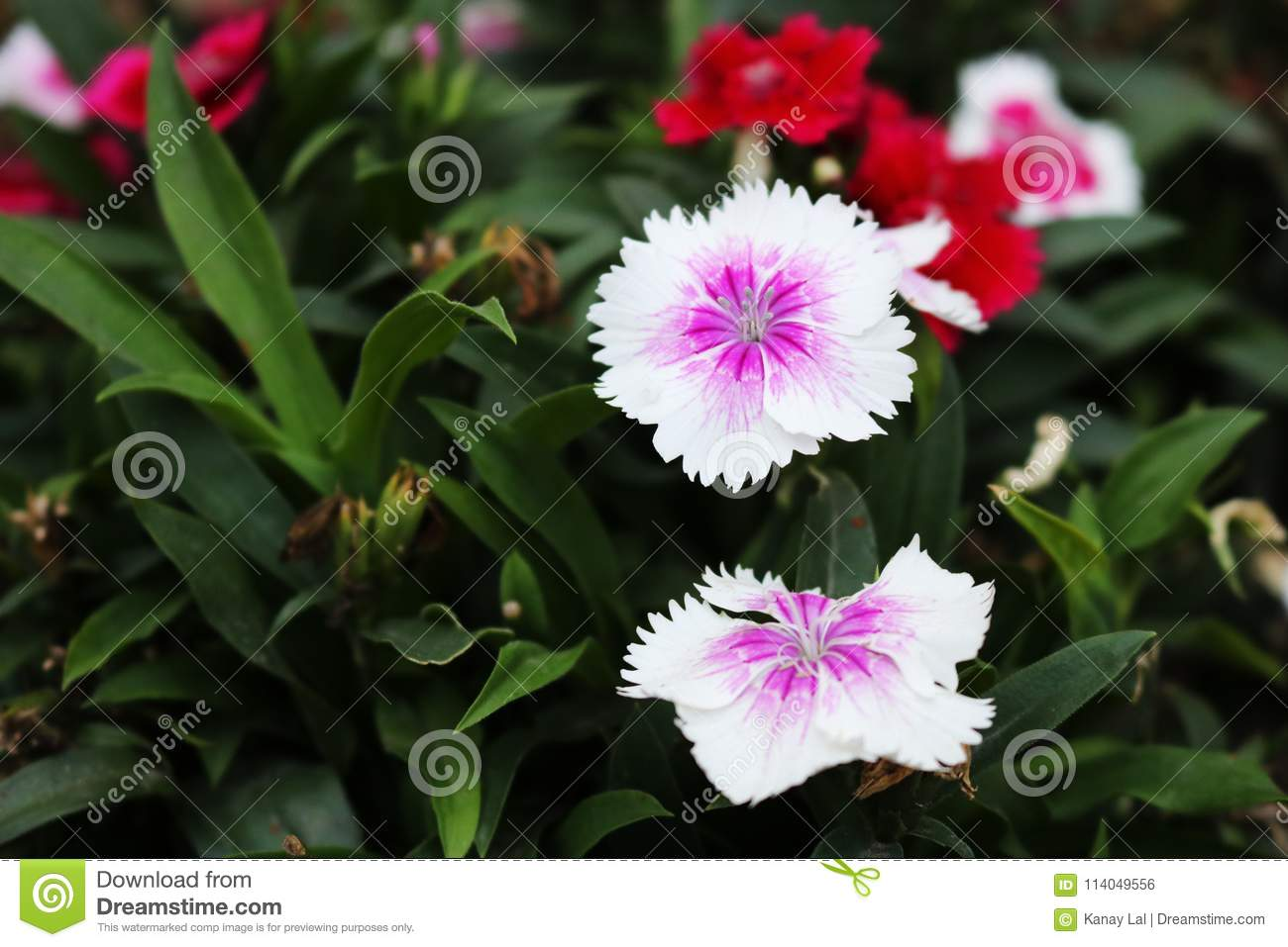 White cute dianthus japonicus flower sweet william dianthus download white cute dianthus japonicus flower sweet william dianthus barbatus stock photo mightylinksfo