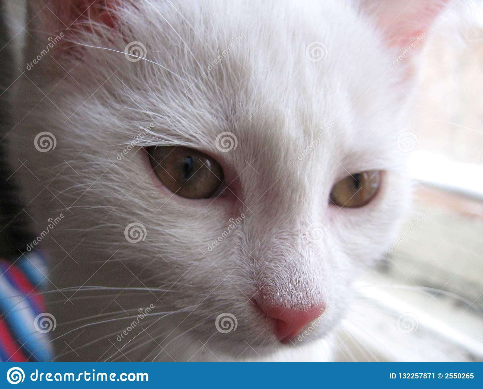 White Cute Baby Kitten With A Beautiful Coat Of Fluffy Stock Image Image Of House Faithful 132257871