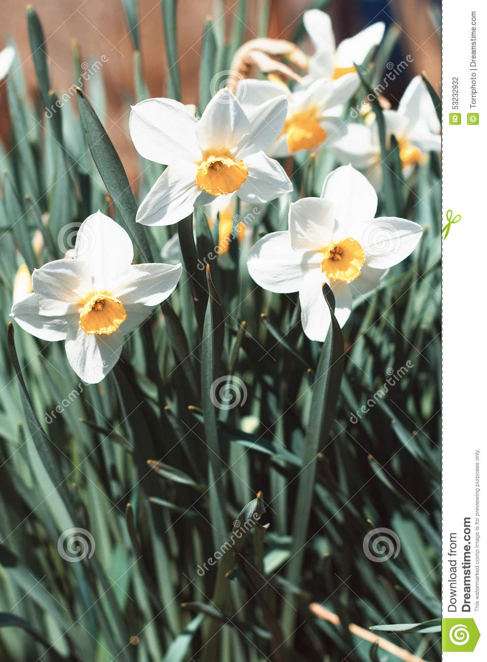 White Daffodils In Spring Stock Photo - Image: 53232932