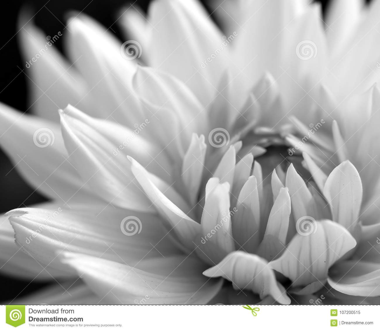 White Dahlia Black And White Stock Image Image Of Crop Flowers