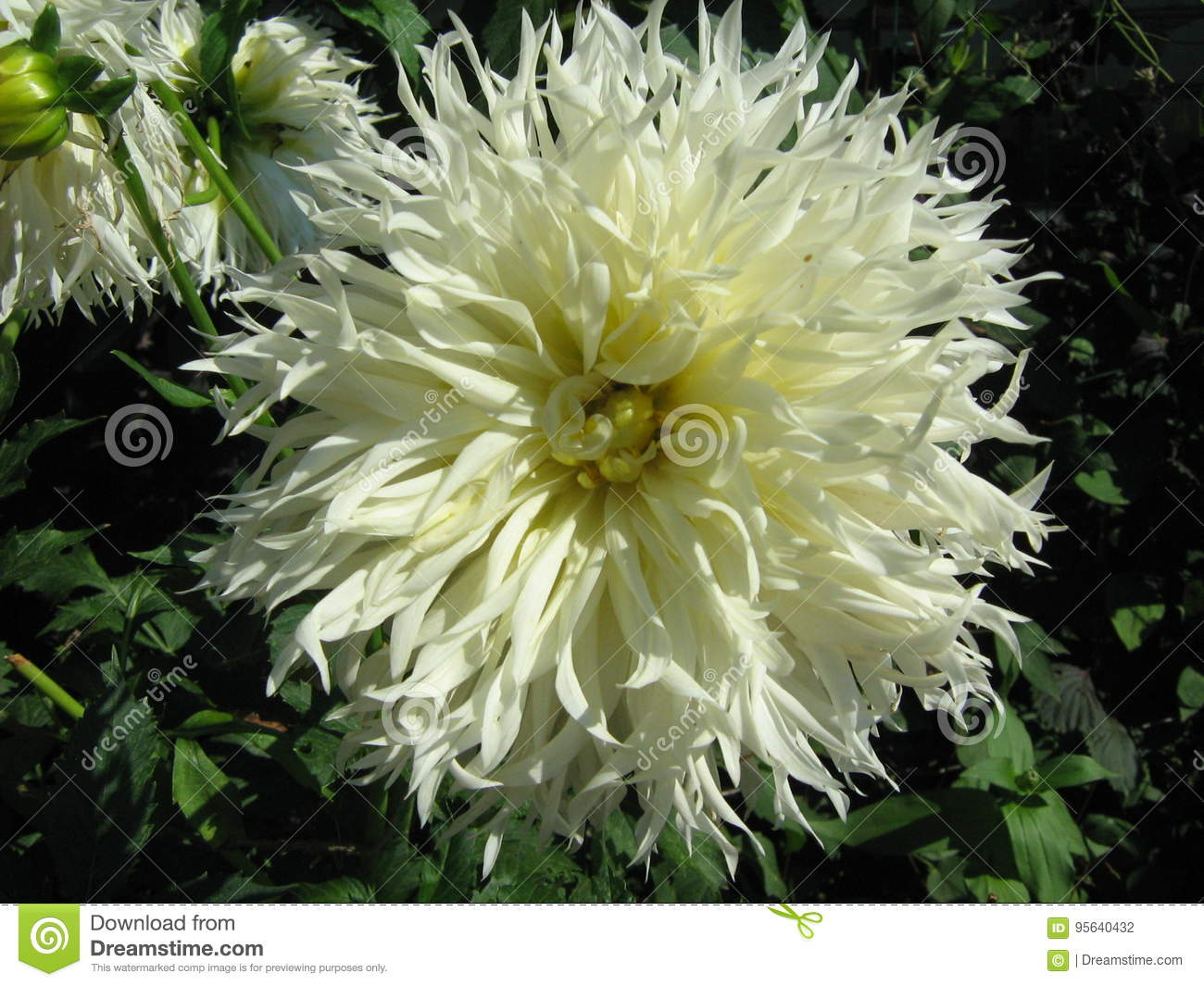 White Dahlia Blooming In The Summer Garden Stock Photo Image Of