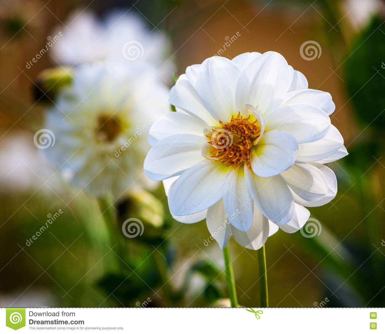 White dahlia stock image image of outdoors floral blooming 80077521 white dahlia mightylinksfo