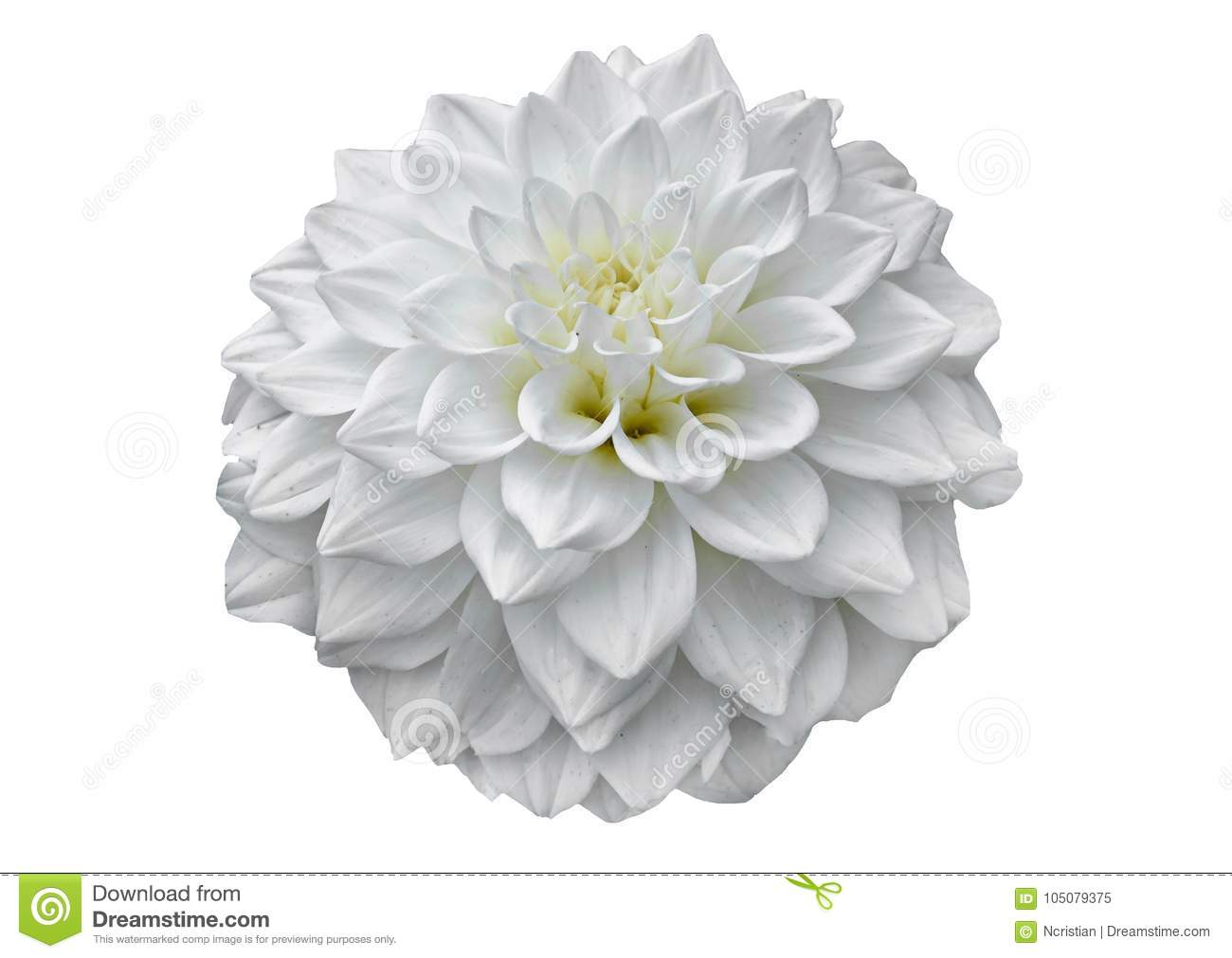 White dahlia flower with bud pattern petals close up stock image download white dahlia flower with bud pattern petals close up stock image image izmirmasajfo