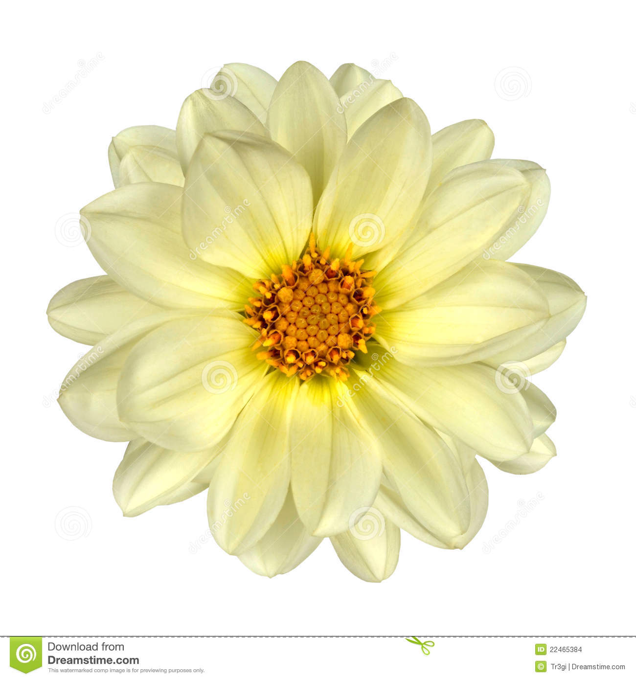 White Dahlia Flower Yellow Center Isolated Stock Images ...