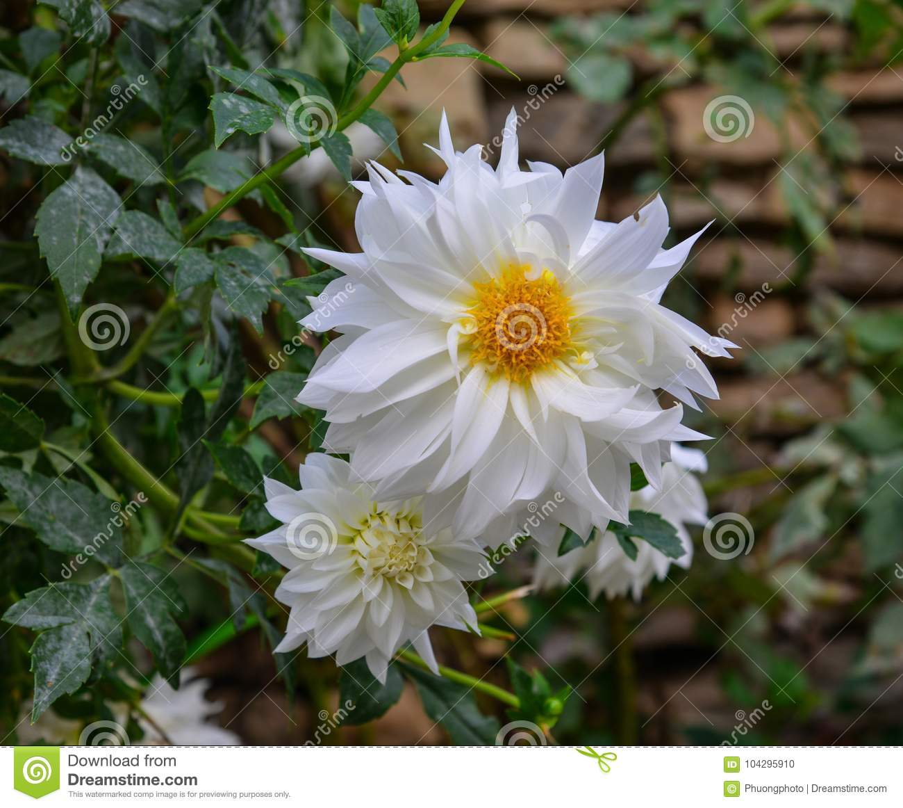 White Dahlia Flowers In Spring Time Stock Photo Image Of Colour