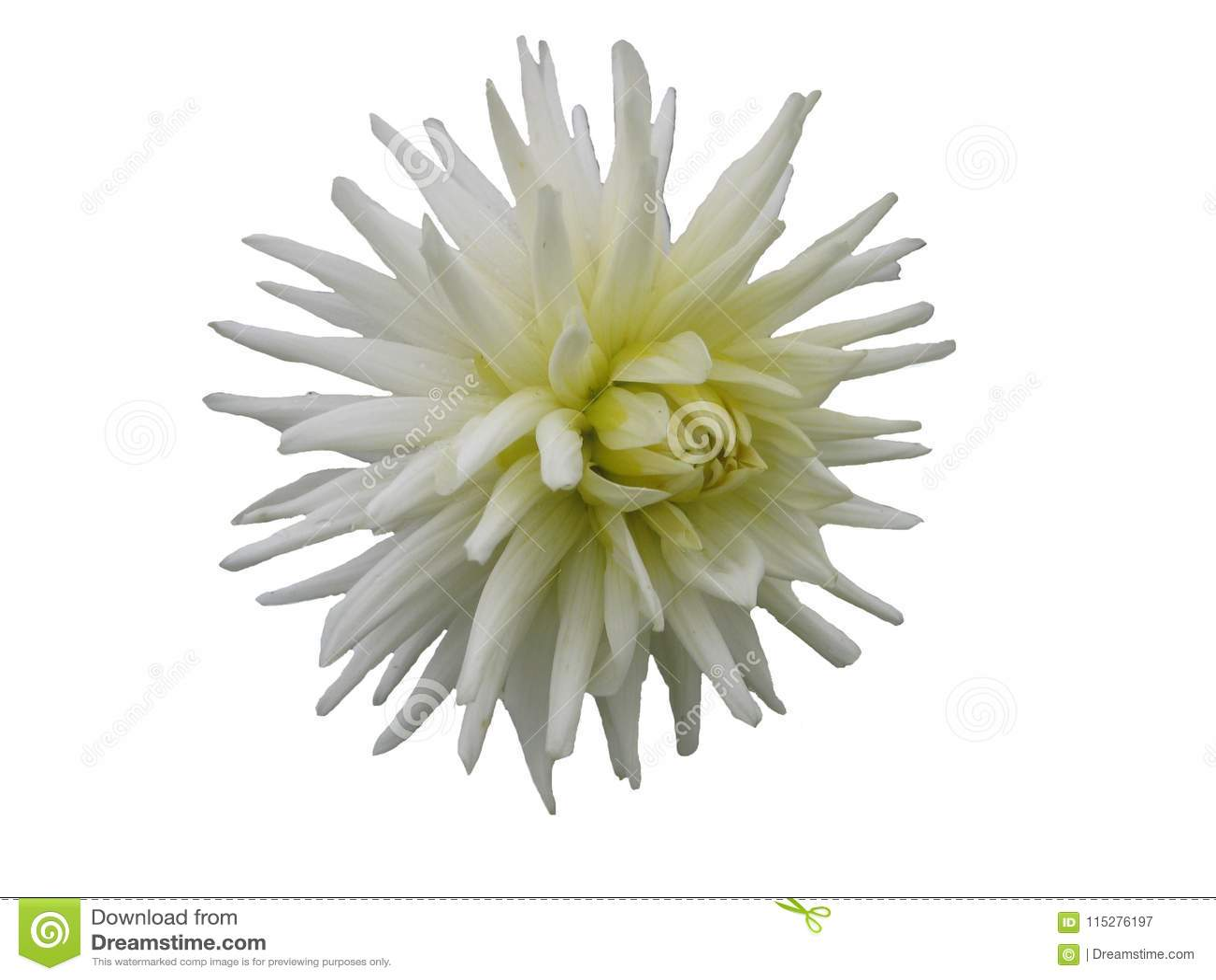 Dahlia Flower With White Needle Like Petals On White Background