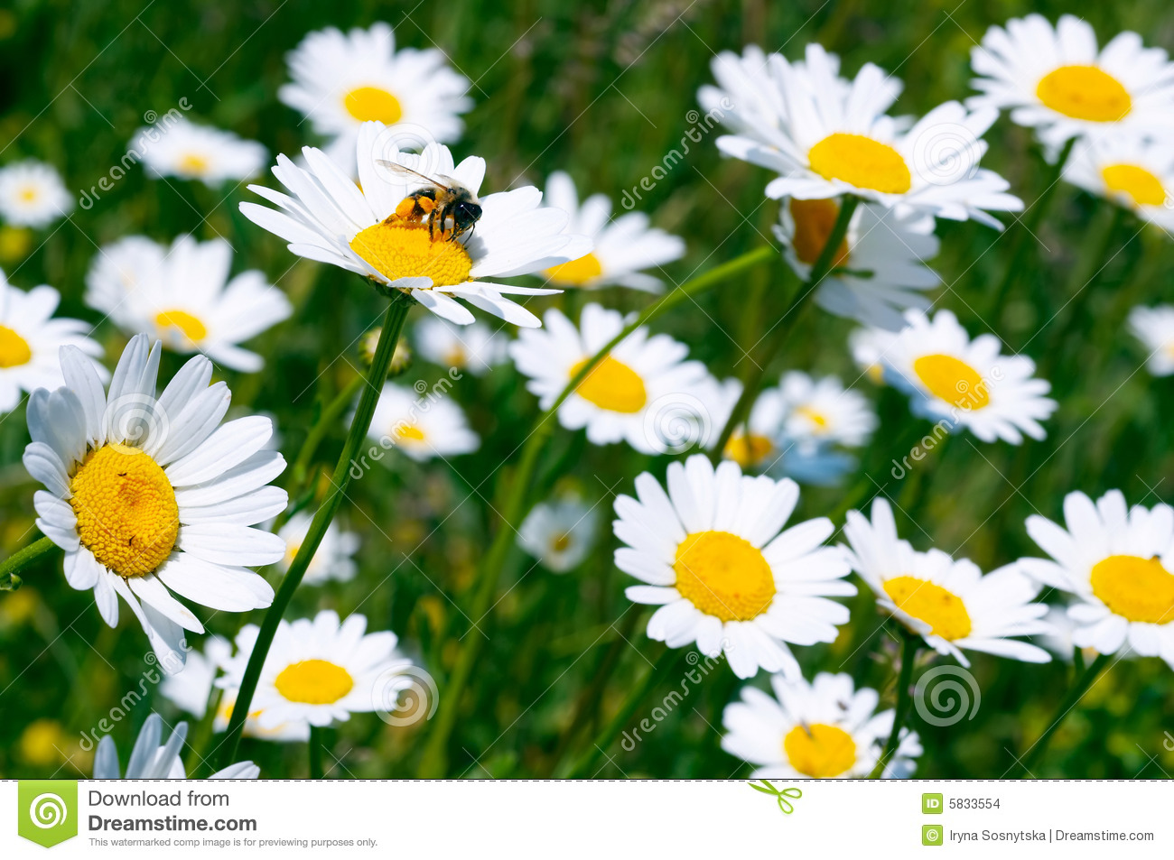 White Daisies Stock Images - Image: 5833554