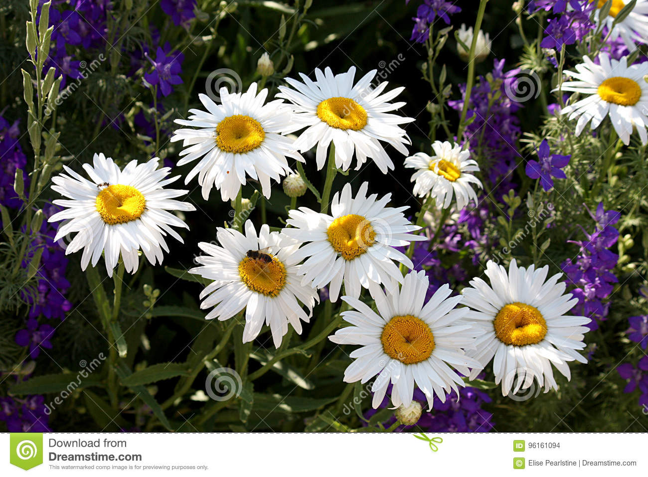 White daisies in a bunch with purple spike flowers stock photo white daisy type composite flowers with purple spike flowers in the background and a pollinator izmirmasajfo