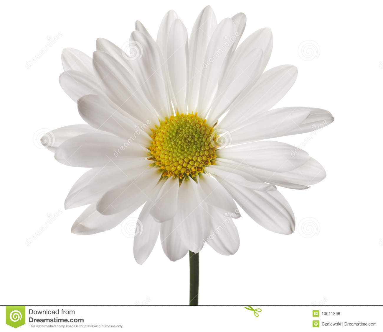 white daisy royalty free stock image  image, Beautiful flower