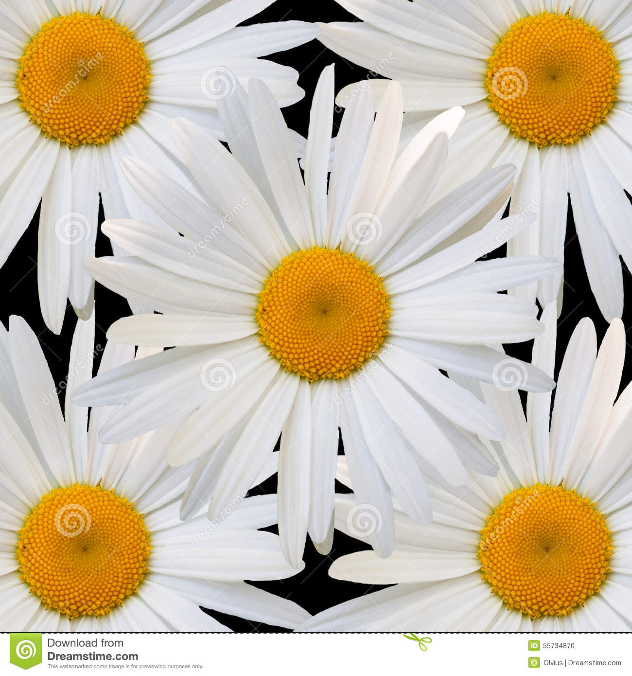 White Daisy Against Black Background Stock Photo - Image ...