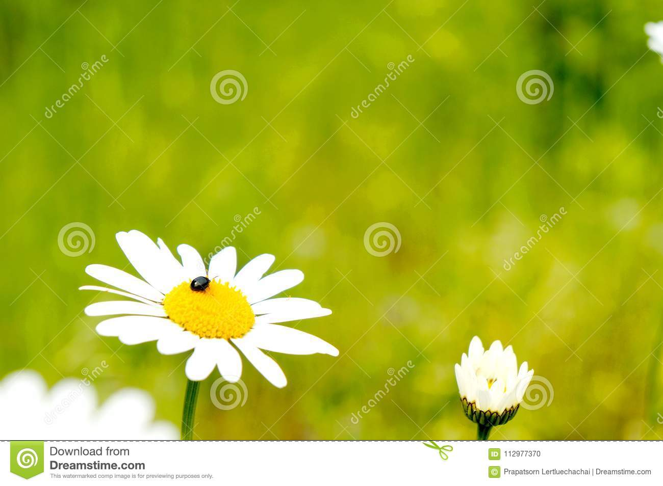 White Daisy with beetle
