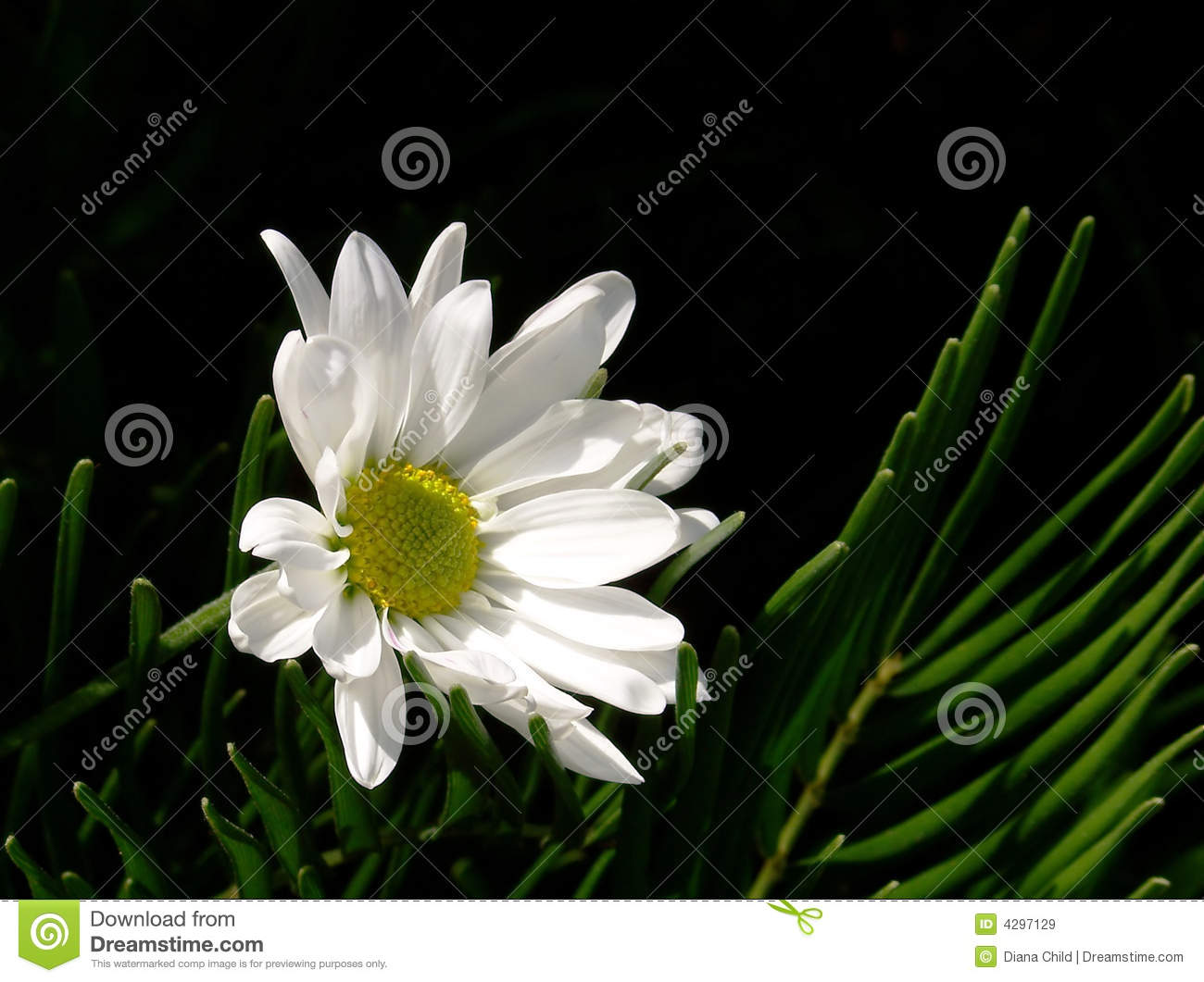 White Daisy, Black Background Royalty Free Stock Images ...