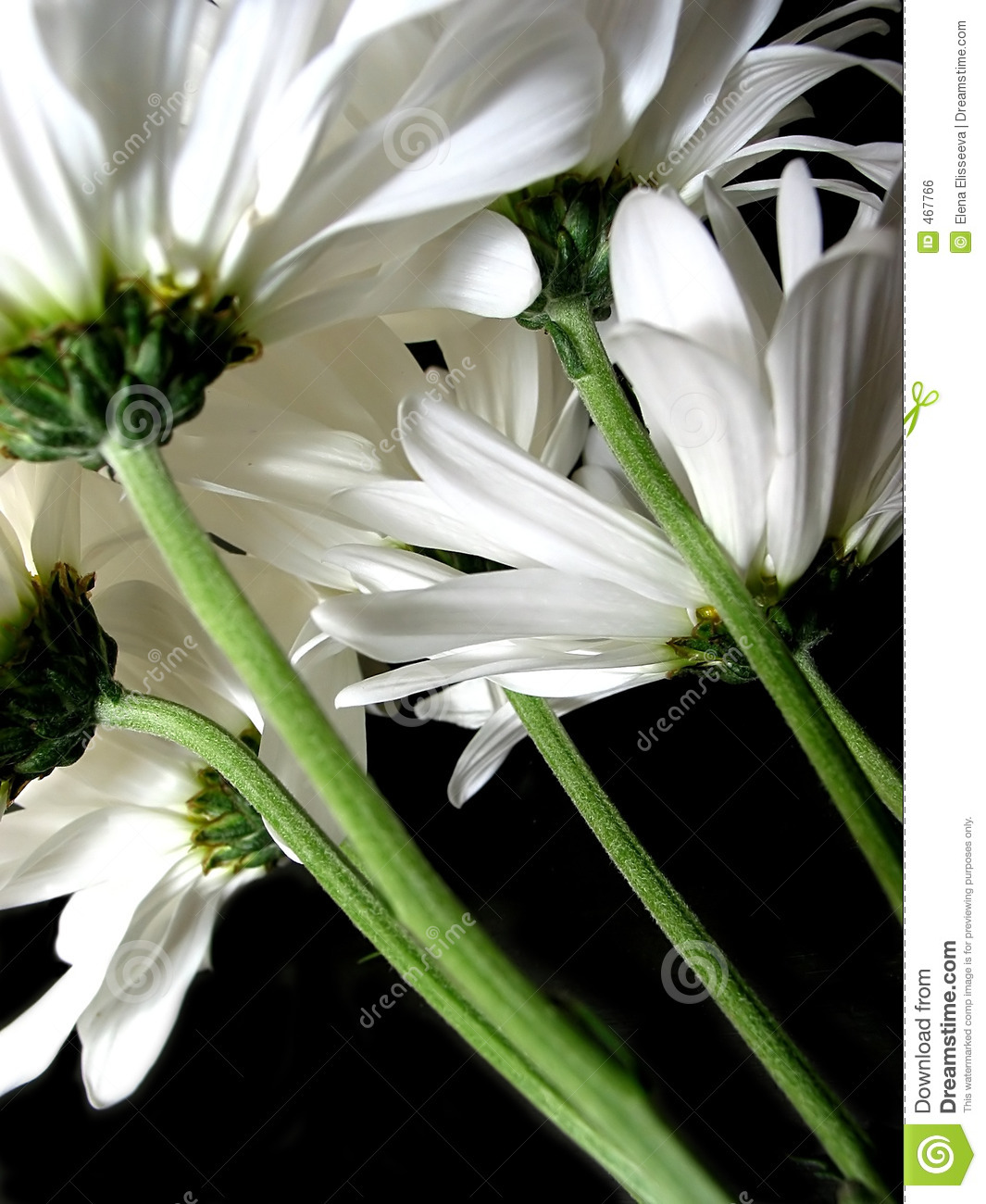 White Daisy On Black Background Royalty Free Stock Image ...